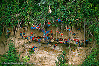 Red-and-Green Macaws and Sclarlet Macaws (Ara chloroptera and Ara macao) at a clay lick along the Rio Manu, lowland tropical rainforest, Manu National Park, Madre de Dios, Peru.