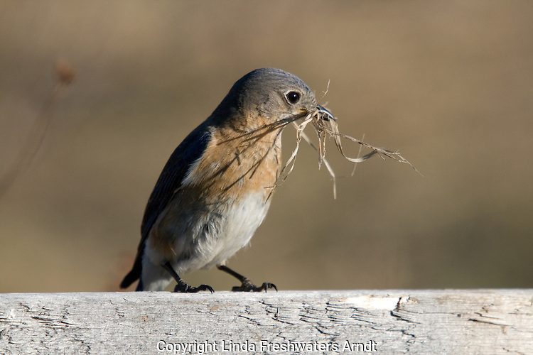 Female eastern bluebird with nesting material in her beak