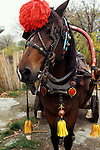 Bulgaria. Horse with red tassle on his head, wearing blinkers and with yellow tasssles from the bottom of his collar.