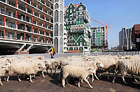 Nederland - Zaandam - 2019. Steeds meer gemeenten in Nederland zetten schaapskuddes in om het openbaar groen te beheren. De schapen van Landschapsbeheer Rinnegom trokken vrijdag weer dwars door Zaandam naar het Darwinpark, waar ze geschoren zullen worden. Een steeds belangrijker argument om te grazen in het openbaar groen is de hoge mate mate van duurzaamheid van de beheermethode. Begrazing is milieuvriendelijk, er is geen brandstof nodig en er is geen geluidsoverlast.   Foto mag niet in negatieve / schadelijke context gepubliceerd worden.    Foto Berlinda van Dam / Hollandse Hoogte