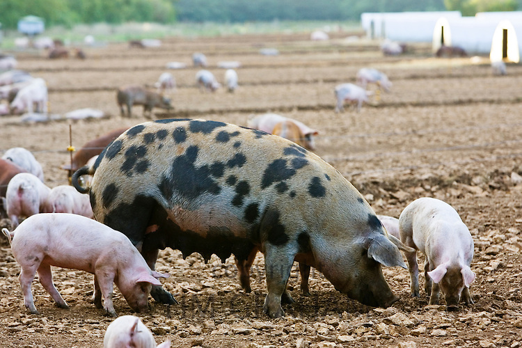 Gloucester Old Spot pig and her piglets, Gloucestershire, United Kingdom