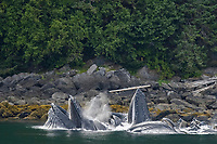 a group of adult humpback whales, Megaptera novaeangliae, co-operatively 'bubble-net' feeding along the shoreline on the west side of Chatham Strait, Alaska, USA, Pacific Ocean