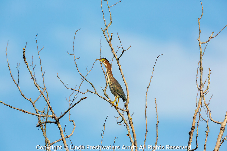 Juvenile green heron perched in a snag.