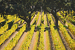 Rows of vineyard leaves changing to golden and orange, oak trees, mouth of the Arroyo Seco in Salinas Valley