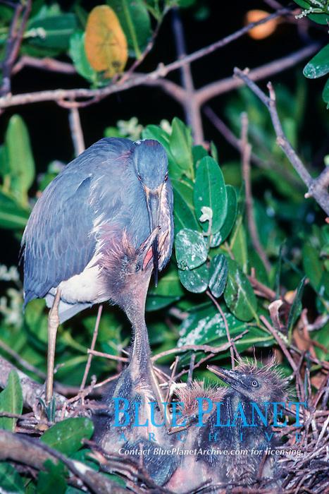 tricolor heron, Egretta tricolor, chicks begging for food, Greynolds Park, North Miami Beach, Florida