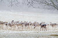 Fallow Deer {Dama dama} in the Snow at Wollaton Park