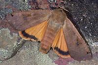 Hausmutter, Noctua pronuba, Agrotis pronuba, Large yellow underwing, La Fiancée, la Triphène fiancée, Eulenfalter, Noctuidae, noctuid moths, noctuid moth