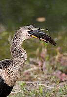 Anhinga, Anhinga anhinga, Everglades National Park