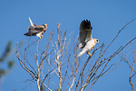 Rose Canyon, San Diego, California; a fledgling white-tailed kite lands in a leafless tree alongside one of its two siblings, soon after leaving the nest