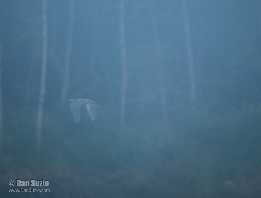 Great blue heron, Ardea herodias, flying in fog on the Tarcoles River, Costa Rica
