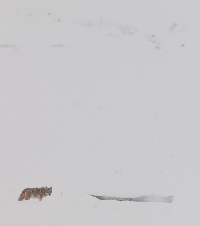 A single coyote licks his muzzle in anticipation while searching for prey in the snow in the Lamar Valley area of Yellowstone National Park.