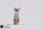 Long-tailed weasel in winter coat. Yellowstone National Park, Wyoming.