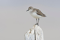 Adult male Semipalmated Sandpiper (Calidris pusilla) perched on a piece of driftwood. Seward Peninsula, Alaska. June.