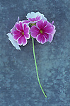 Pink and white flowers on single stem of Pelargonium or Geranium lying on distressed board