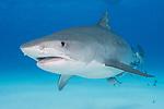 Tiger Beach, Grand Bahama Island, Bahamas; a large, pregnant, female tiger shark swimming over the shallow, sandy bottom at Tiger Beach