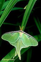 LE10-063x  Luna Moth - male adult with large antennae - Actias luna