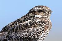 Common Nighthawk (Chordeiles minor). Central Idaho. June.