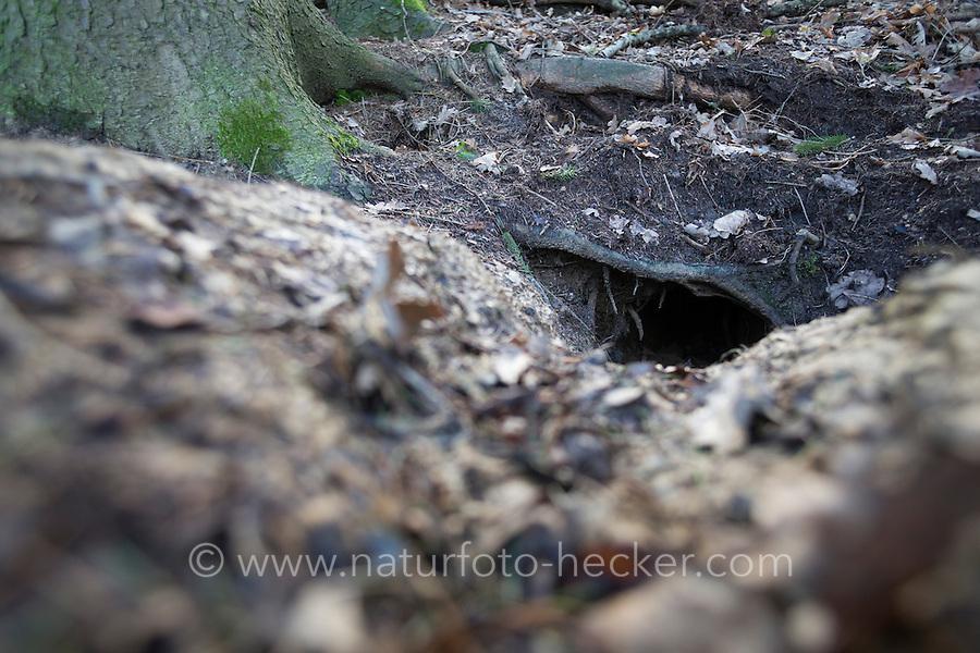 Dachsbau, Eingang zum Bau eines Dachs, Höhleneingang, Dachs-Bau, Meles meles, Old World badger, Badger, badger's set, badger set, badger's sett, badger's burrow, Blaireau