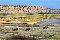Three American Bison bulls (Bison bison) roaming the Sage Creek Wilderness in Badlands National Park, South Dakota. Spring.