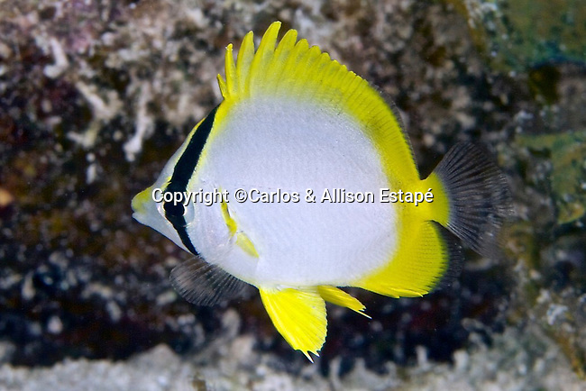 Chaetodon ocellatus, Spotfin butterflyfish, juvenile, Grand Cayman