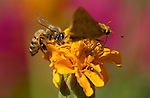 Bee and Skipper, Western Honey Bee, Fiery Skipper Butterfly, Southern California
