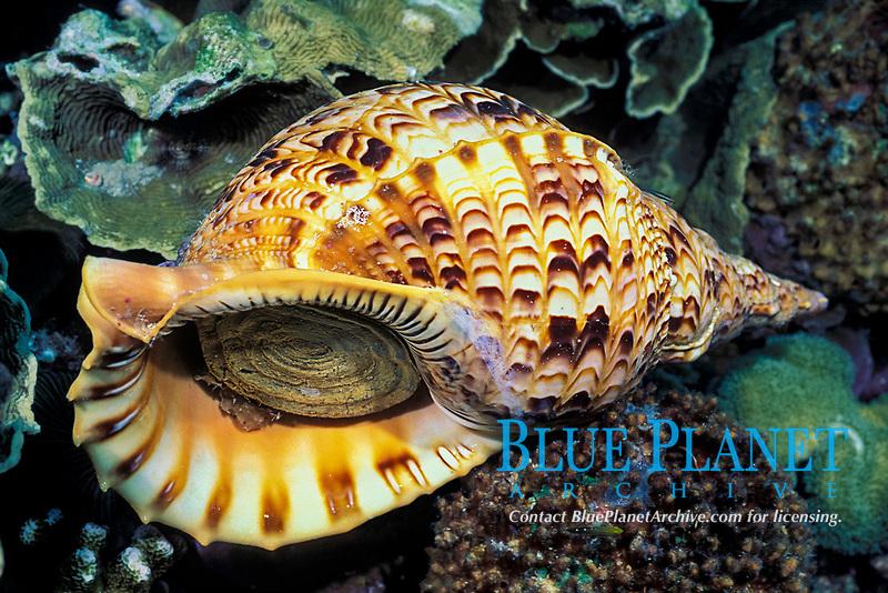 triton trumpet shell, Charonia tritonis, Susan's Reef, Kimbe Bay, New Britain, Papua New Guinea (Bismarck Sea / Western Pacific Ocean)