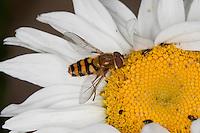 Gemeine Schwebfliege, Grosse Schwebfliege, Große Schwebfliege, Garten-Schwebfliege, Gartenschwebfliege, Männchen beim Blütenbesuch, Nektarsuche, Bestäubung, Syrphus ribesii, currant hover fly