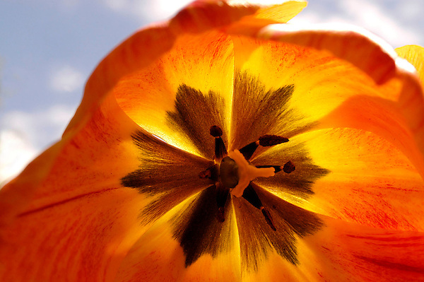 Tulip Photos. Floral Photos and Photography. Marc Caryl Nature Photos.