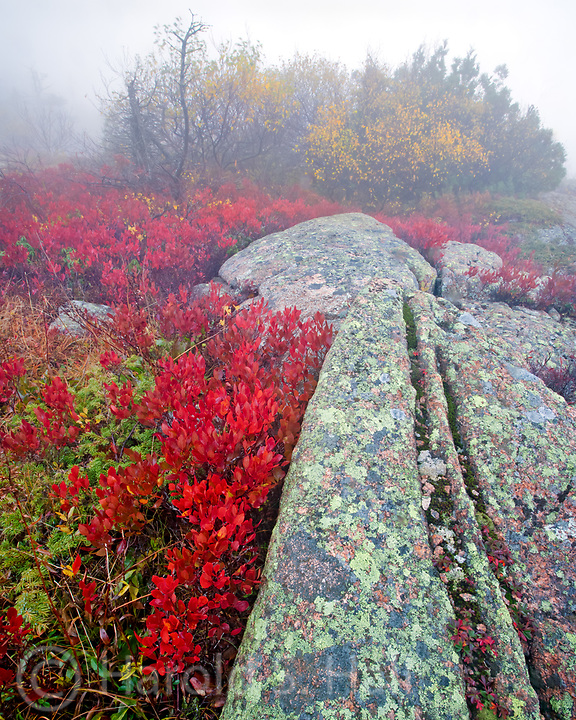 Low growing blueberry bushes turn bright red in Acadia National Park in Maine among the granite rocks with lichens.