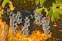 A vine with Ripe Merlot grape bunches on the vine at Chateau Lafleur, Pomerol, Bordeaux.