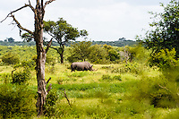 White Rhinoceros in the Kruger National Park, the largest game reserve in South Africa.