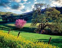 Pasture with purple Rosebud and oak tree. Near Williams, California