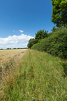 Conservation margin in wheat field - Lincolnshire, July