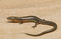 A previously undescribed species of night skink, tentatively called Eremiascincus sp. A, from Ermera Province, Timor-Leste (East Timor).