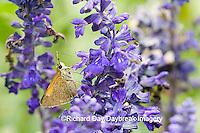 03721-001.07 Tawny-edged Skipper (Polites themistocles) on Blue Victoria Salvia (Salvia farinacea) Marion Co. IL