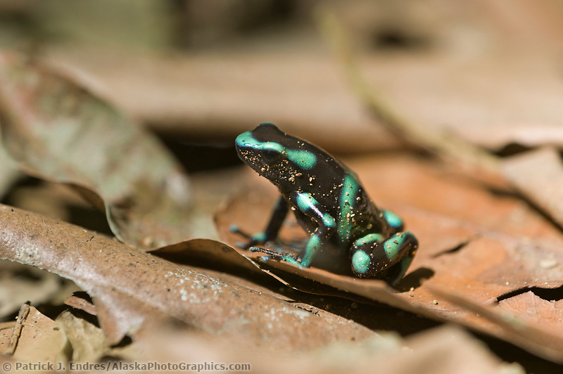Black and Green Dart frog, Carara, Costa Rica, Central America