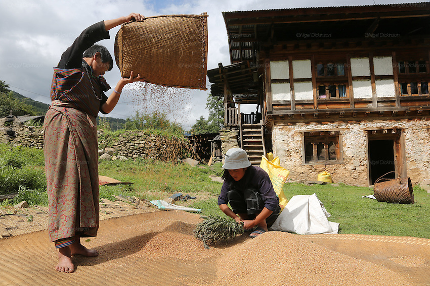 Women separating the rice from the chaff in a farmyard setting, Bumthang, Bhutan..Bhutan the country that prides itself on the development of 'Gross National Happiness' rather than GNP. This attitude pervades education, government, proclamations by royalty and politicians alike, and in the daily life of Bhutanese people. Strong adherence and respect for a royal family and Buddhism, mean the people generally follow what they are told and taught. There are of course contradictions between the modern and tradional world more often seen in urban rather than rural contexts. Phallic images of huge penises adorn the traditional homes, surrounded by animal spirits; Gross National Penis. Slow development, and fending off the modern world, television only introduced ten years ago, the lack of intrusive tourism, as tourists need to pay a daily minimum entry of $250, ecotourism for the rich, leaves a relatively unworldly populace, but with very high literacy, good health service and payments to peasants to not kill wild animals, or misuse forest, enables sustainable development and protects the country's natural heritage. Whilst various hydro-electric schemes, cash crops including apples, pull in import revenue, and Bhutan is helped with aid from the international community. Its population is only a meagre 700,000. Indian and Nepalese workers carry out the menial road and construction work.