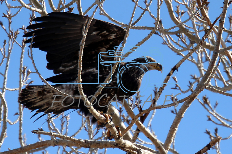 An immature bald eagle lands in a tree on a ranch in Minden, Nev. on Monday, Jan. 21, 2013. .Photo by Cathleen Allison