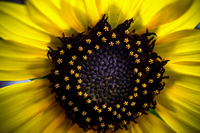 Details emerge on a closeup of a sunflower