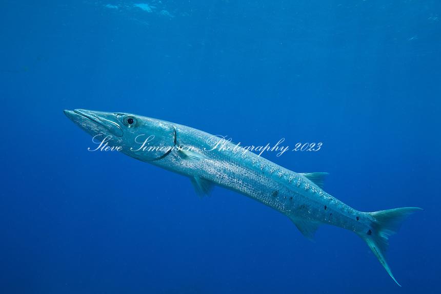 Great Barracuda (Sphyraena barracuda).Virgin Islands