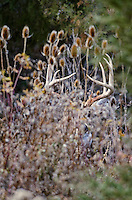 White-tailed Deer buck (Odocoileus virginianus) camouflaged by teasel and wild rose, Western U.S., Late Fall.
