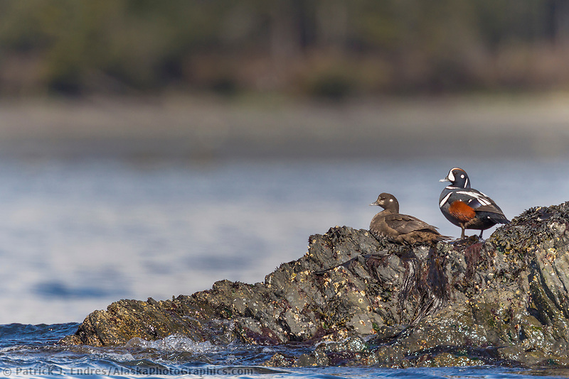A male and female harlequin duck sit on a rocky outcrop in Port Gravina, Prince William Sound, southcentral, Alaska.