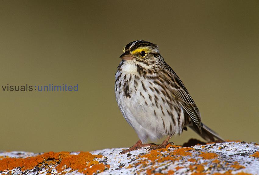 Savannah Sparrow ,Passerculus sandwichensis, North America.