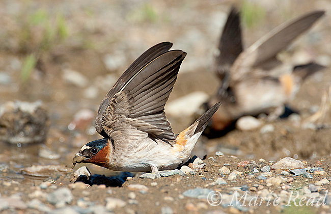 Cliff Swallows (Petrochelidon pyrrhonota), two flutter their wings while they pick up mud as nest material, Mono Lake Basin, California, USA.