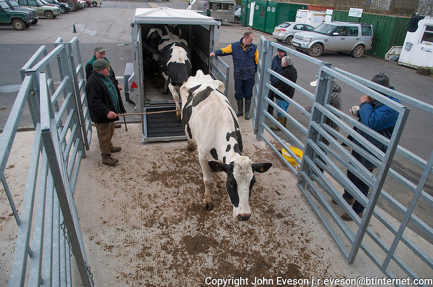 Unloading cull dairy cows from a livestock trailer, Brock Livestock Market, Lancashire.