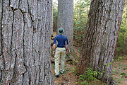 A hiker explores the enormous White Pines on the side of the Mad River in the White Mountains, New Hampshire USA. During the logging era the Mad River was used for log drives.