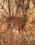 Deer seen in the Esopus Bend Nature Preserve in Saugerties, NY., Monday, January 29, 2018. Photo by Jim Peppler. Copyright/Jim Peppler/2018.