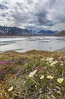 Mountain aven, Arctic National Wildlife Refuge, Brooks Range, Arctic Alaska.