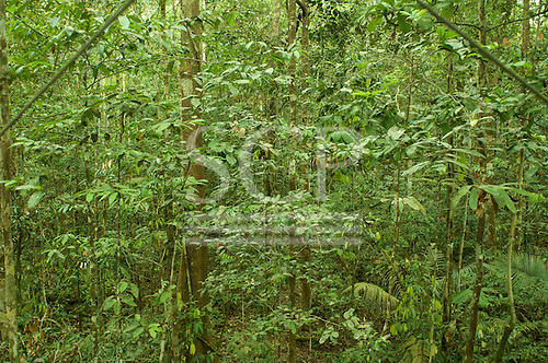 Amazon, Brazil. Low contrast delicate vegetation in the understorey.