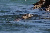 marine otter, chungungo, Lontra felina, Chiloe Island, Chile, swimming